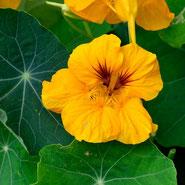 Essbare Blüten & Knospen: Kapuzinerkresse