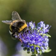 Biene auf Bienenweide-Blühmischung