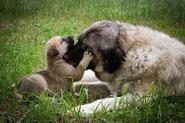 Une chienne et son chiot beiges clairs avec le museau noir couchés sur l'herbe. Le chien pose sa patte sur nez de sa mére par coach canin 16 éducateur canin en charente