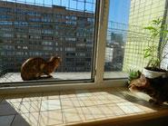 уход за бенгальской кошкой