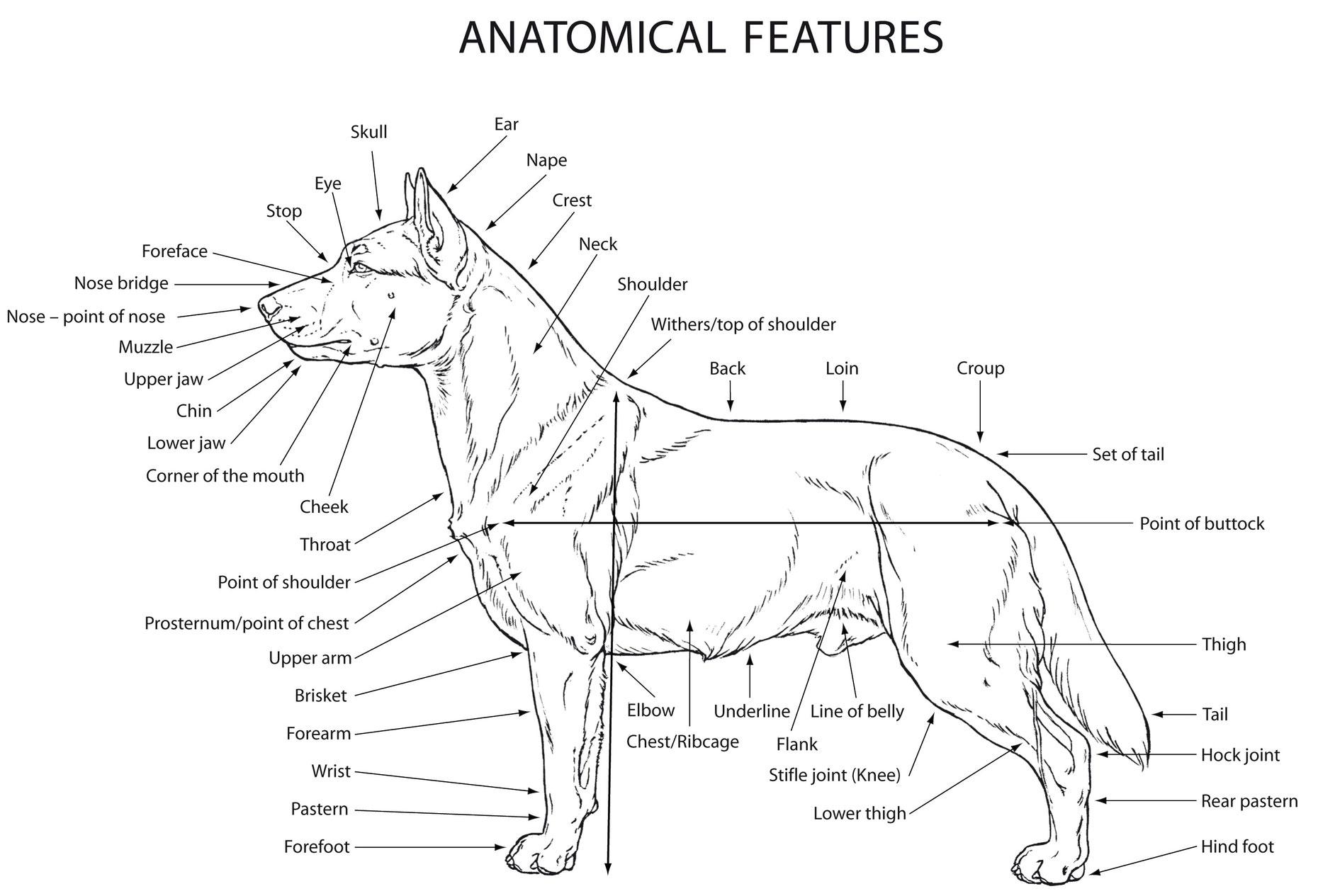 Стати собаки картинки