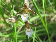 Epipactis des marais stage de botanique, découverte des fleurs de montagne en Haute Savoie l'hermine des alpes