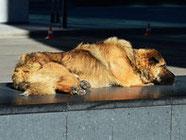 Euro 2012 Ukraine: massacre de chiens errants