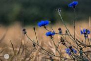 Bild: cornflower in Ergste