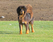 Wikipedia_Alexandr frolov_Tibetan mastiff in the wild. On a mountain pasture in the Altai mountains