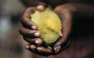 ひよこを守る手のイメージ写真life-2529859_1280