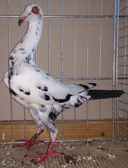 Meilleur mâle papilloté noir G Vergnaud