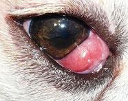 Vorfall der Nickhautdrüse - Cherry Eye