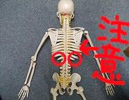 骨格模型の画像