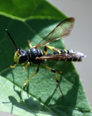 Die Knotenwespe (Cerceris arenaria) trägt verschieden kleine Käfer- und Wildbienenarten ein.