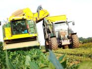 Récoltes d'haricots 2013