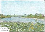 ③26/4月 川崎高津区宿河原:多摩川土手下の石だらけの川原に、春を感じる菜の花が咲き始めている風景です。