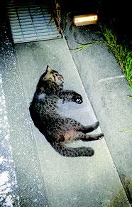 交通事故にあって死亡したヤマネコ(西表野生生物保護センター提供)