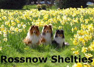 Visit Rossnow Shelties Website