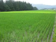 手前と奥とで稲の濃さが違いますよね。