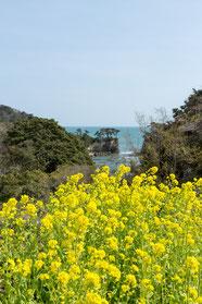 H27.4月撮影…海の青と菜の花