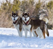 2 chiens nordiques debout côte à côte dans la neige par coach canin 16 educateur canin en charente
