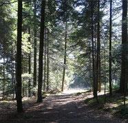 Chemin ensoleillé dans une forêt de conifères