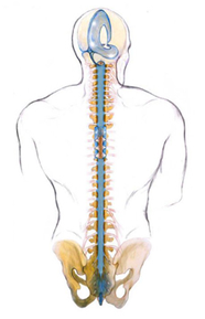 Das CranioSacrale System (blau)