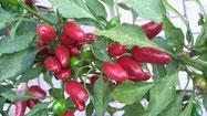 Sibirischer Hauspaprika: Rote, kleine, längliche Früchte. Foto Kirnstötter