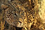 panthere afrique