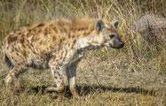 Animaux Afrique : Hyène tachetée