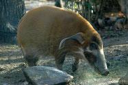 Animaux Afrique : Potamochère