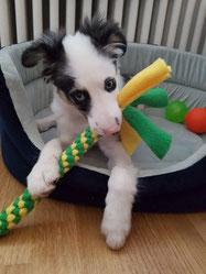Zergel für Hunde, Hundezergel, Tau, Zerrspiel