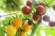 ミニトマト赤と黄