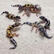 Sunset Geckos Nachzuchten 2015 kaufen und Leopardgeckos abzugeben aus Zucht von zwei Züchter