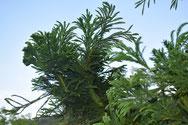 Hahnenkamm-Sicheltanne - Tannenbaumplantage Wälchli Weihnachtsbäume Wäckerschwend