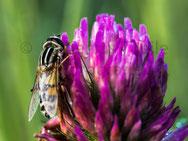 Fliege auf Klee
