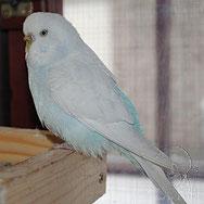 weiß/ hellblau, aufgehellt, Spangle (Emily)