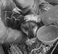 Un chien à survécu en mer au tsunami japonais, depuis trois semaines