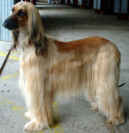 Wikipedia_Sannse_Afghan Hound Zushkhan Jodeci owned by Vannessa Small