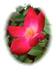 【薔薇】新鮮な朝摘ローズを使用。  エイジングサイン、ホルモンバランスが気になる方に。