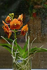 Vanda orange spezial