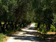 Olivenhain bei Borsh