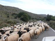 Schafe u Ziegen-allgegenwärtig