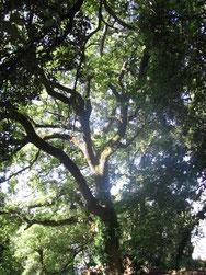 Le grand chêne vert des Courmettes