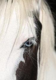 gypsy cob pie noir yeux bleus