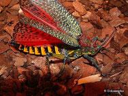Phymateus saxosus