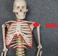 骨格模型で胸郭をしめした画像