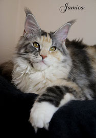 Maine Coon Mädchen in black silver torbie classic white