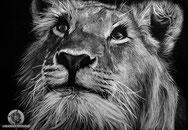 Le jeune lion, 34x24cm