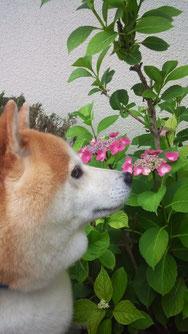 紫陽花を見る柴わんこ