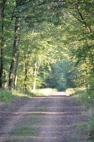 une allée forestière de Bercé