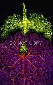 シラユキゲシとユキノシタの葉の樹液の蛍光 小林 侑