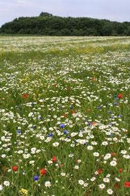 Im ersten Jahr nach der Einsaat dominieren noch typische Ackerarten wie Kamille, Mohn und Kornblume