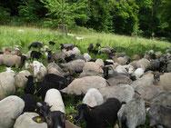 Unsere Schafe auf den Löwenburgwiesen